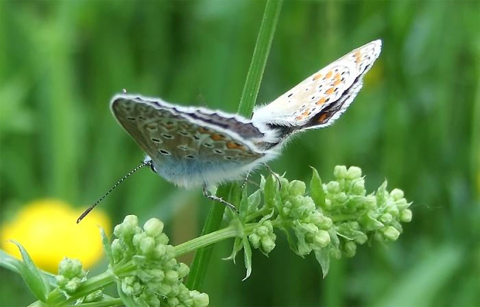 Schmetterlinge Kleiner Sonnenröschen Bläuling