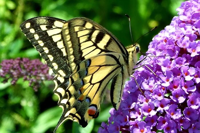 Schmetterlinge Schwalbenschwanz