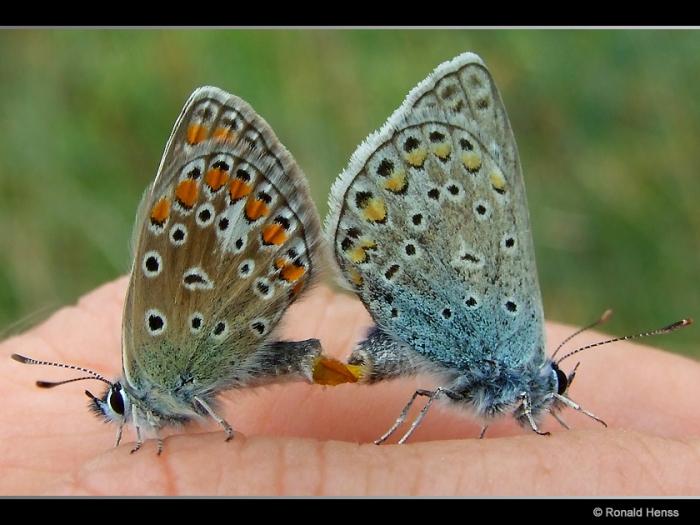 Polyommatus icarus bei der Paarung